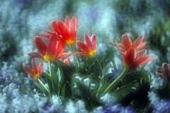 Farbenzauber der Tulpenblüte